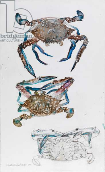 Blue Crab, 2010 (w/c & pencil on paper)