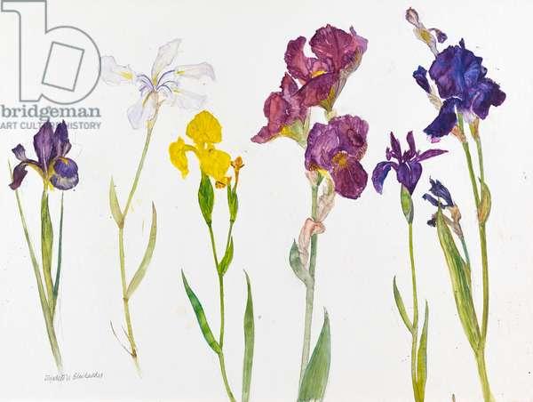 Irises, 2011 (w/c on paper)