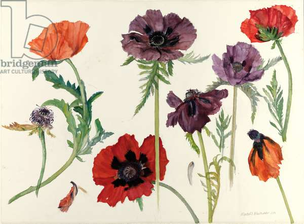 Oriental Poppies, 2010 (w/c on paper)