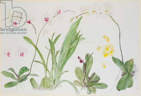 Four Orchids, 1988 (w/c on paper)
