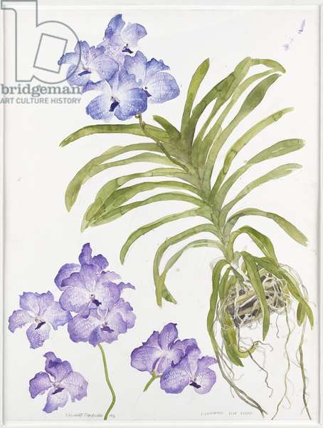 Blue orchid Vanda Chiengmai, blue viboon, 1994 (w/c on paper)