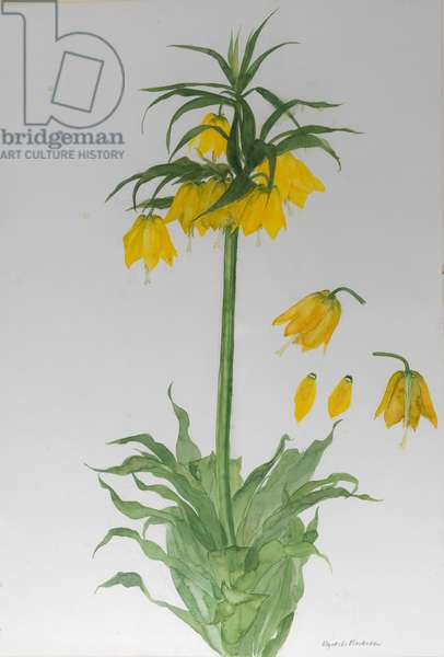 Fritillaria Imperialis, 2010 (w/c on paper)