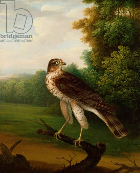 A Young Female Hawk, one year old (oil on canvas)