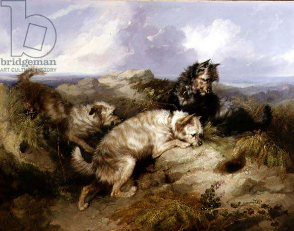 A Dandy Dinmont and Two Cairns Rabbiting (oil on canvas)
