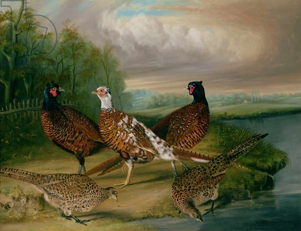 Pheasants by the River Wensum, Norfolk (oil on canvas)