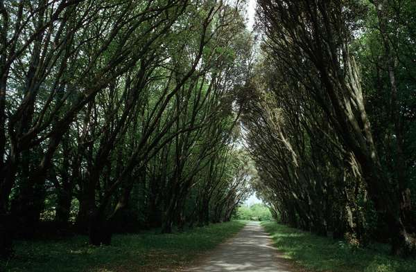 Avenue of Ilex Trees, Coole Park, County Sligo, Ireland (photo)