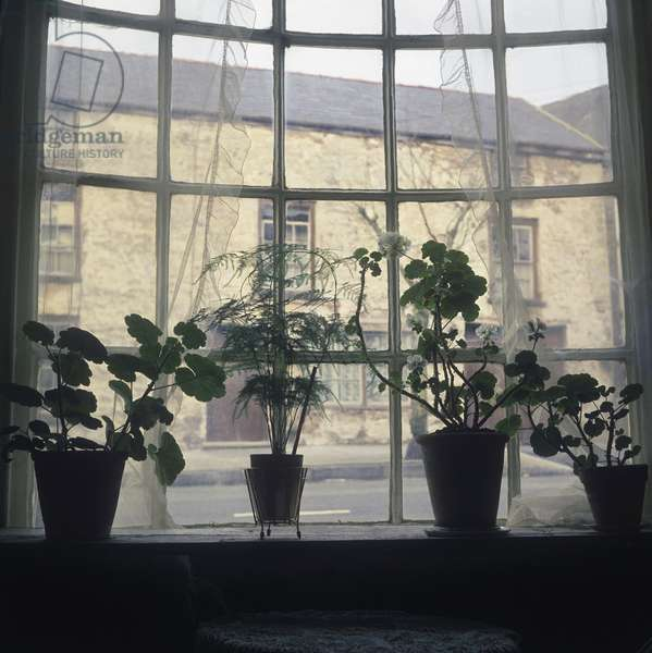 Bay window of a house with lace curtains and silhouetted plants, in Laugharne, Carmarthenshire, Wales (photo)