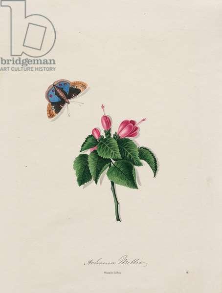 Soft Achania (Achania Mollis), published 1826 (hand-coloured litho)