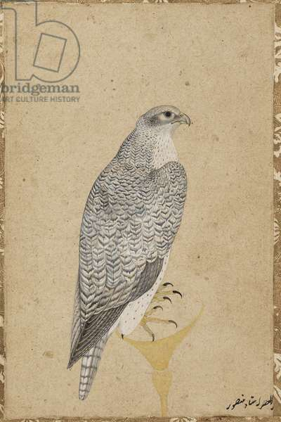 Portrait of a Falcon, from Northern India, 1619 (opaque w/c & gold on paper)