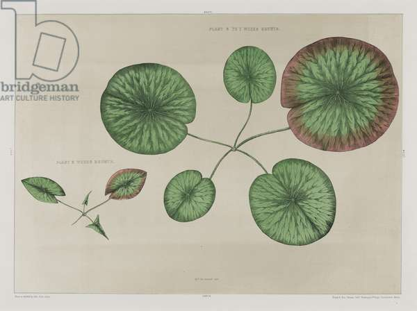 Victoria Regia: The First Two Cycles of the Growth of the Lily, 1854 (chromolitho)
