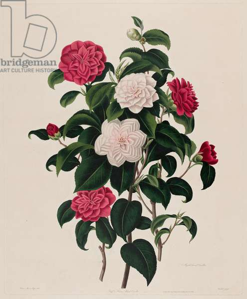 Buff, or Humes Blush Camellia / Myrtle Leaved Camellia, from 'A Monograph on the Genus Camellia' by Samuel Curtis, 1819 (hand-coloured aquatint)