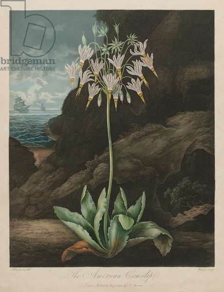 The American Cowslip, plate 26 from 'The Temple of Flora', by Dr. Robert John Thornton, published 1799-1807 (hand-coloured mezzotint)