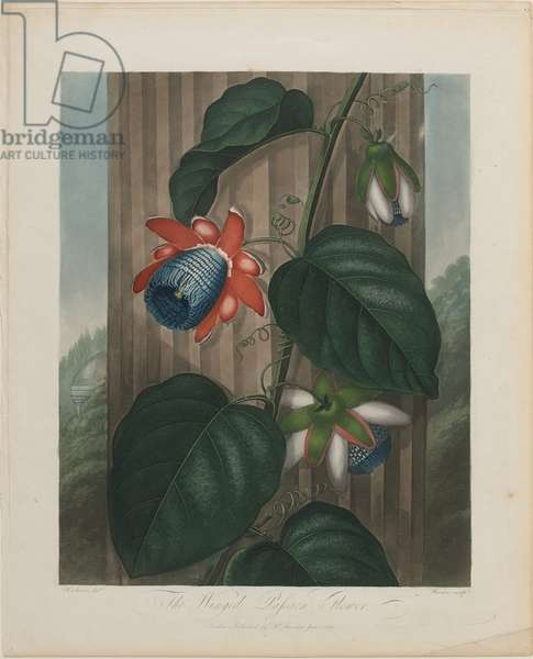 The Winged Passion Flower, engraved by Warner, from 'The Temple of Flora' by Dr. Robert John Thornton, published 1799-1807 (hand-coloured aquatint)