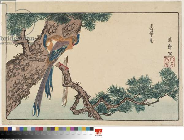 Magpies (Jutaichō) in Pine Tree, reprinted from the album Kaihaku raikin zui (A Compendium of Pictures of Birds Imported from Overseas), 1790s (colour woodblock print)