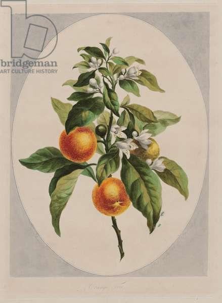 Orange Tree, 1788 (hand-coloured etching)