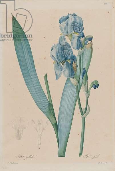 Dalmatian Iris (Iris pallida), plate 366 of 'Les Liliacées' by Pierre-Joseph Redouté, published Paris 1802-16 (hand-coloured engraving)