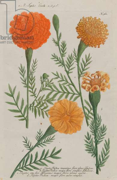 Four varieties of Marigolds (Tagetes), from 'Phytanthoza Iconographia' by Johann Wilhelm Weinmann, published 1737-45 (hand-coloured etching & engraving)