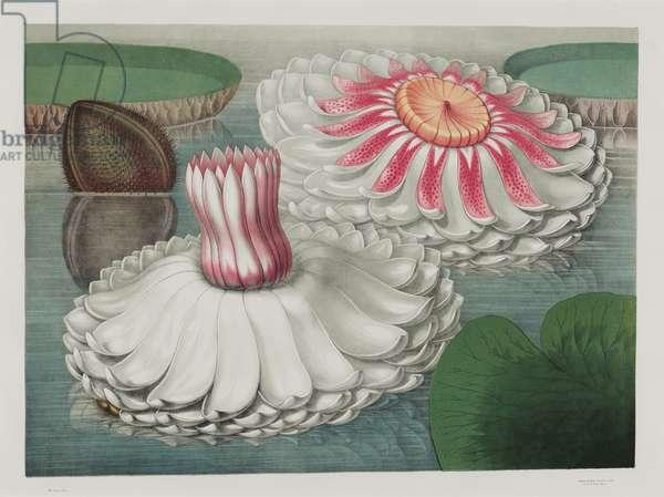 Victoria Regia: Intermediate Stages of Bloom, 1854 (chromolitho)