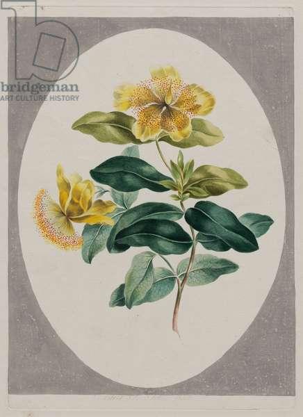 Eastern St. John's Wort, 1801 (hand-coloured etching)