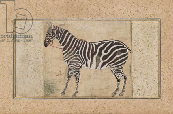 Zebra, from Northern India, c.1621 (opaque w/c & gold on paper)