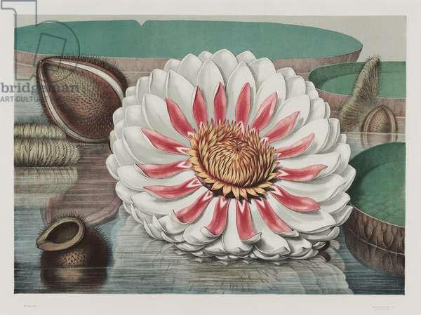 Victoria Regia: Complete Bloom, 1854 (chromolitho)