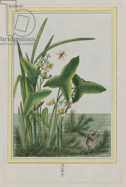 Water Plantain, Plate LXXVIII from 'Plants of China', Part I, by Pierre-Joseph Buchoz, published 1776 (hand-coloured etching)