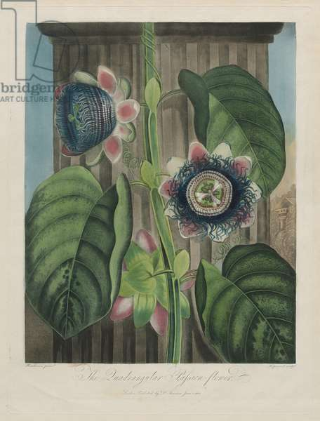 The Quadrangular Passion Flower, plate 19 from 'The Temple of Flora...' by Dr. Robert John Thornton, published London 1799-1807 (hand-coloured aquatint)