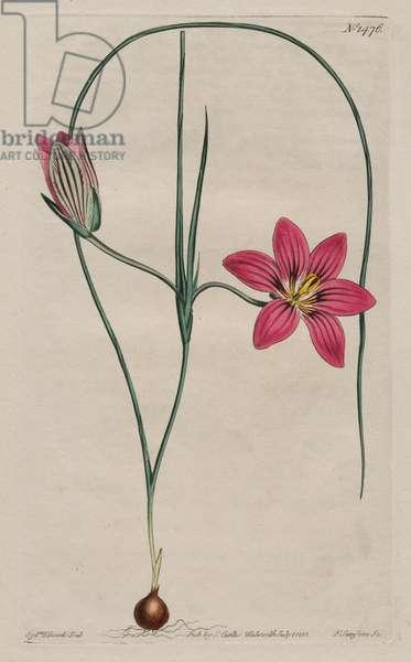 Crimson Trichonema (Trichonema Speciosum), 1809 (hand-coloured etching)
