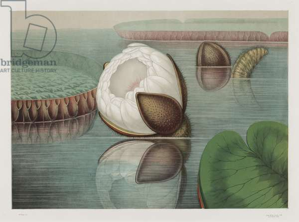 A Partial Bloom Caused by Low Temperature, 1854 (chromolitho)