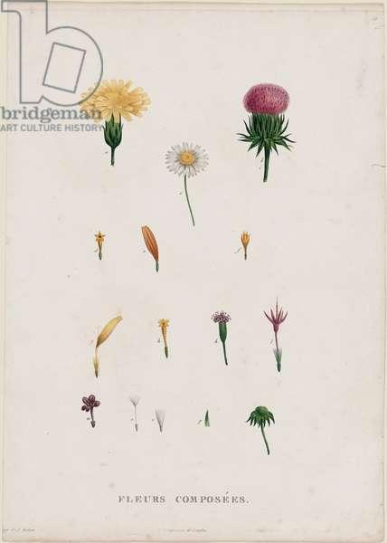 Parts of Flowers (Fleurs composées), published 1805 (hand-coloured engraving)