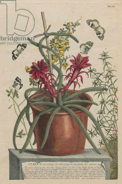 Small Climbing Cactus (Cereus minimus scandens polygonus), 1748 (hand-coloured etching & engraving)