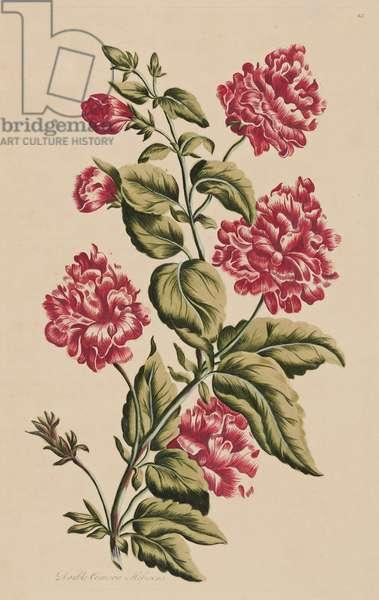 Double Crimson Hibiscus, 1759 (hand-coloured engraving)