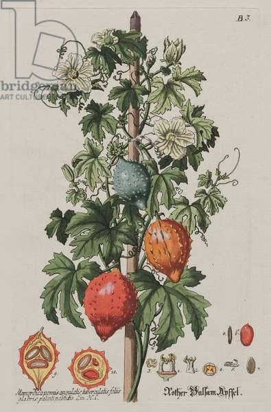 Reddish Balsam Apple, 1750-72 (hand-coloured etching & engraving)