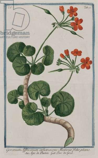 African Geranium (Geranium Affricanum), 1772-74 (hand-coloured engraving)