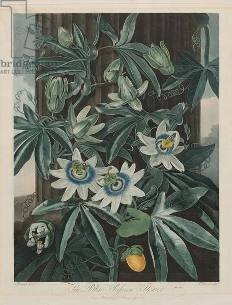 The Blue Passion Flower (Passiflora caerula), plate 17 from 'The Temple of Flora...' by Dr. Robert John Thornton, published London 1799-1807 (hand-coloured aquatint)