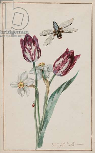 Tulips and jonquils with dragonfly, c.1760 (w/c on paper)