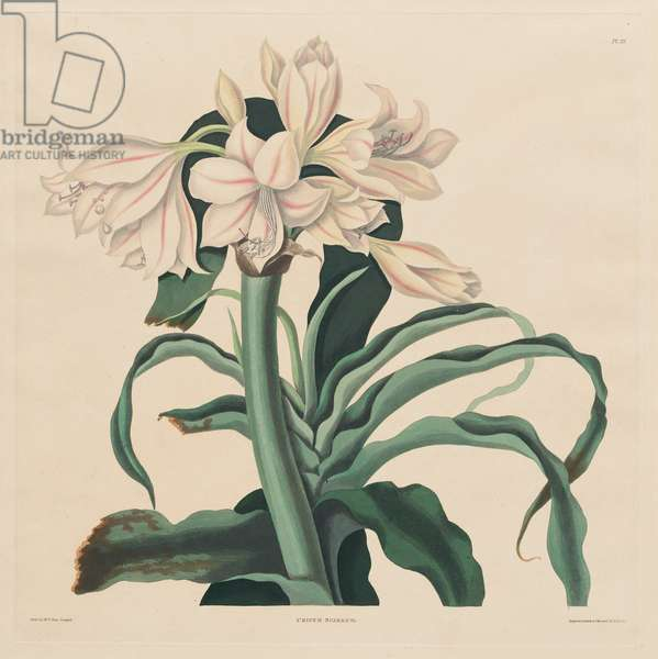 Crinum Scabrum (Scabrum Lily), plate 32 from 'A Selection of Hexandrian Plants, belonging to the natural orders Amaryllidae and Liliacae', published 1831-34 (hand-coloured aquatint)