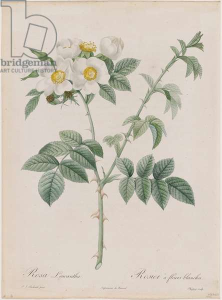 White Flowered Rose (Rosa Leucantha / Rosier à fleurs blanches) Plate 53 from