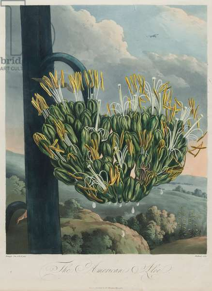 The American Aloe, plate 12 from 'The Temple of Flora' by Dr. Robert John Thornton, published London 1799-1807 (hand-coloured aquatint)