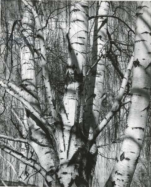 Trees, 1972 (silver gelatin print)