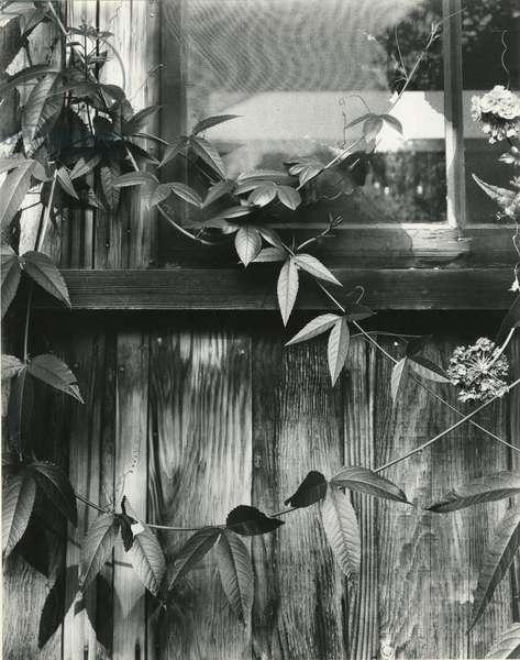 Window and Vines, 1952 (silver gelatin print)