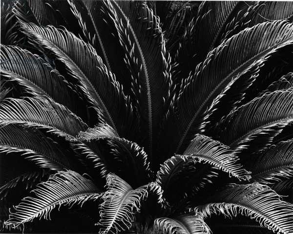 Plant, Hawaii, c. 1985 (silver gelatin print)