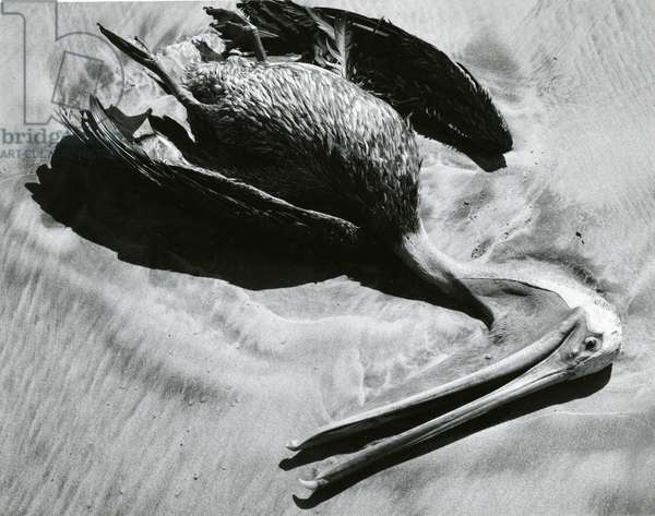 Dead Bird and Sand, Pelican, Baja California, 1969 (silver gelatin print)