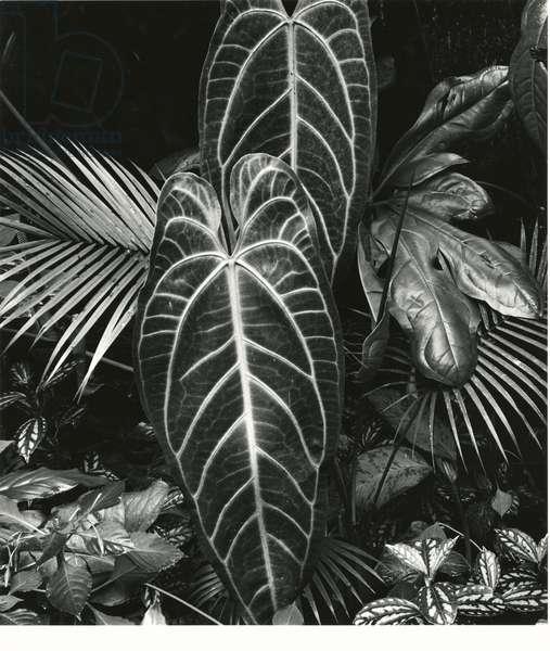 Leaf Cluster, Hawaii, 1979 (silver gelatin print)