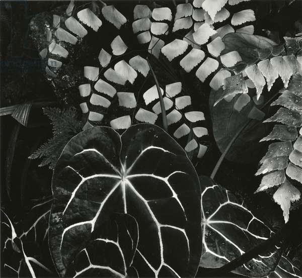 Hot House Plants, Botanical Garden, San Francisco, 1978 (silver gelatin print)