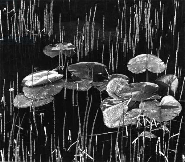 Lily Leaves, Alaska, 1977 (silver gelatin print)