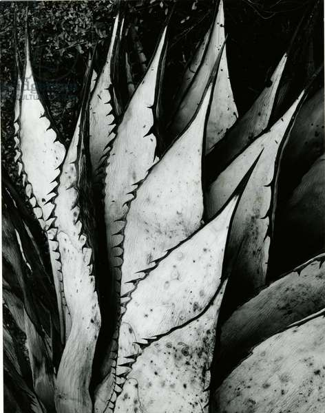 Century Plant, 1968 (silver gelatin print)
