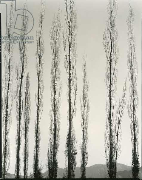 Poplars, Saline Valley, California, 1954 (silver gelatin print)