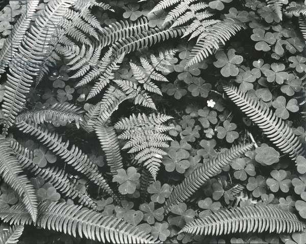 Ferns and Clovers, c. 1945 (silver gelatin print)