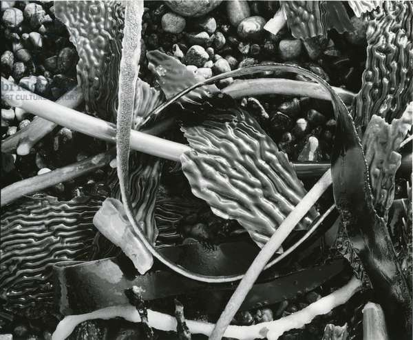 Abstraction of torn kelp blades tangled in stipes, c. 1965 (silver gelatin print)